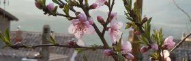 Ferskentrærne blomstrer i Tolfa