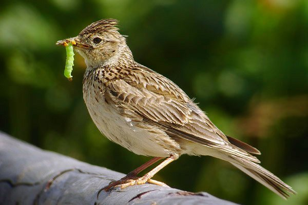 lerkefugl