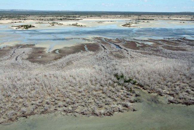 mangrove dead